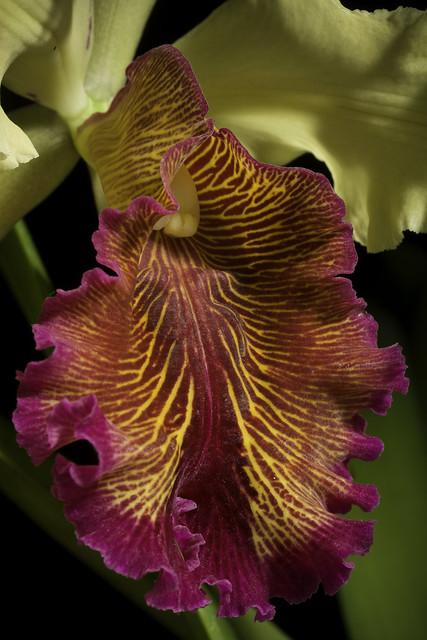 Photo:Cattleya dowiana var. aurea (dureda) '_200728' (Linden) B.S.Williams & T.Moore, Orchid Album 2: t. 84 (1883). By sunoochi