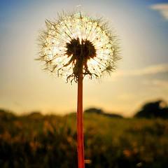 Cottonsilk Sunshine