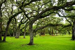 Beautiful Oaks