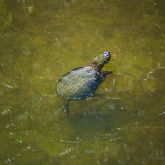 Snapping turtle (1)