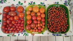 Tomato haul 7-10-21