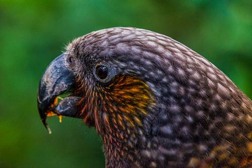 NZ Kaka Portrait