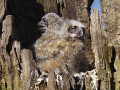 Great Horned Owl owlets - Pelham Bay Park, New York, USA
