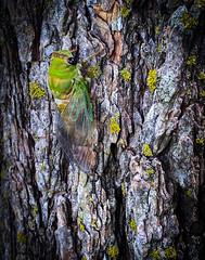Superb Dog-day Cicada