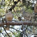 Aves en el Paseo del Norte de La Guardia (Toledo) 18-7-2021