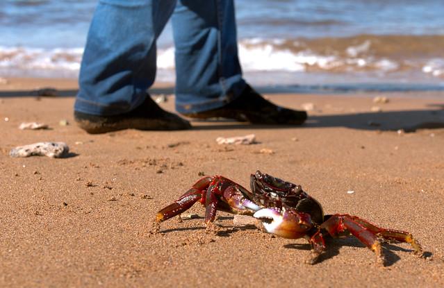 Persian Gulf red crab, Larak island, Iran