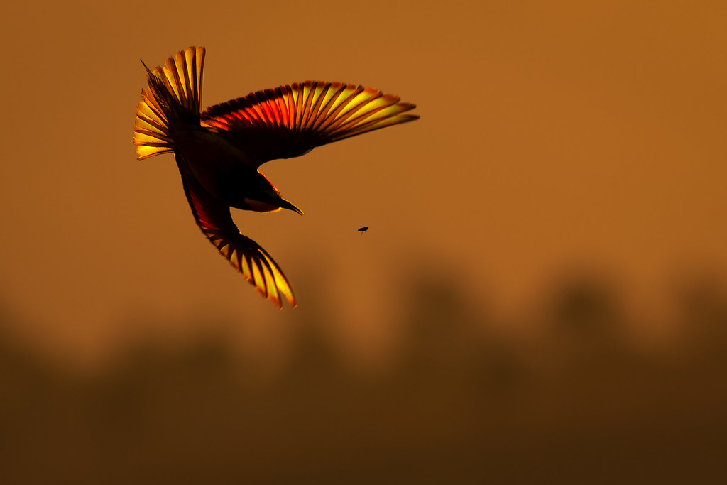 European Bee-Eater Hunting at Sunset