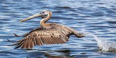 Juvenile Brown Pelican Takeoff