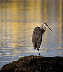 Great Blue Heron (juvenile)- Hudson Beach