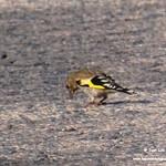 Aves en las lagunas de La Guardia (Toledo) 23-07-2021