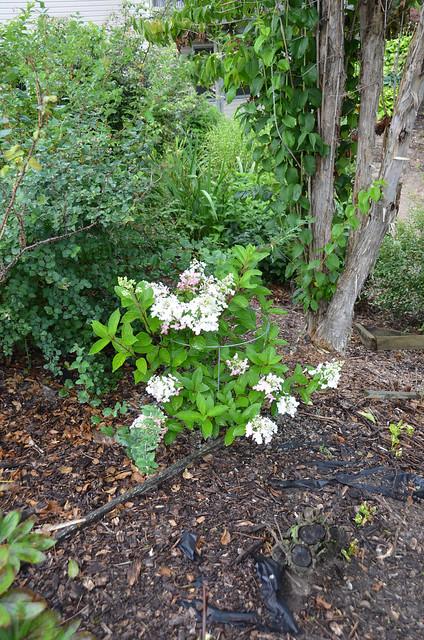 Photo:Hydrangea paniculata 'PINKY WINKY' 7/2021 Panicle- By F. D. Richards