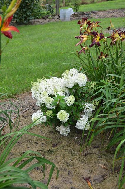 Photo:Hydrangea paniculata 'Bobo' 7/2021 Panicle- By F. D. Richards