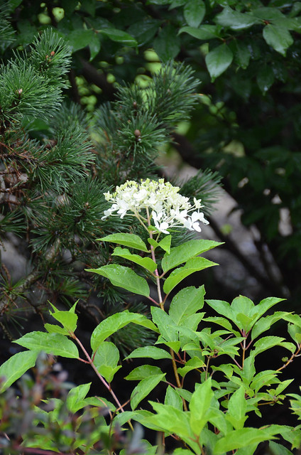 Photo:Hydrangea paniculata 'Phantom' 7/2021 Panicle- By F. D. Richards