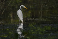 Great Egret in the Shade