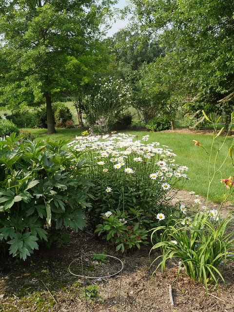 Photo:Leucanthemum x superbum 'Becky' 7/2021 Shasta Daisy- By F. D. Richards