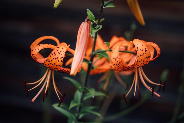 Orange lily (Lilium bulbiferum), close-up