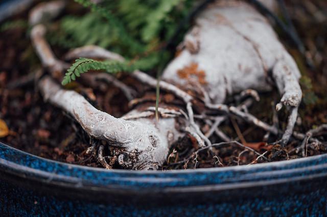 Root of a bonsai tree, close-up