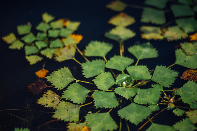 Leaves of a water plant floating on the surface