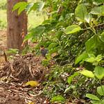 Schneescheitelrötel (Cossypha niveicapilla) (1)