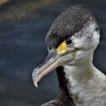DSCN3953 - Love all the funny faces of the cormorants