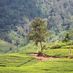 A Tree and A Tea Plantation