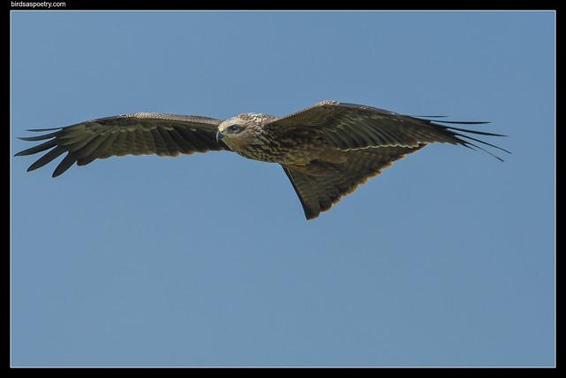 Photo:Black Kite: (J) Learning By birdsaspoetry