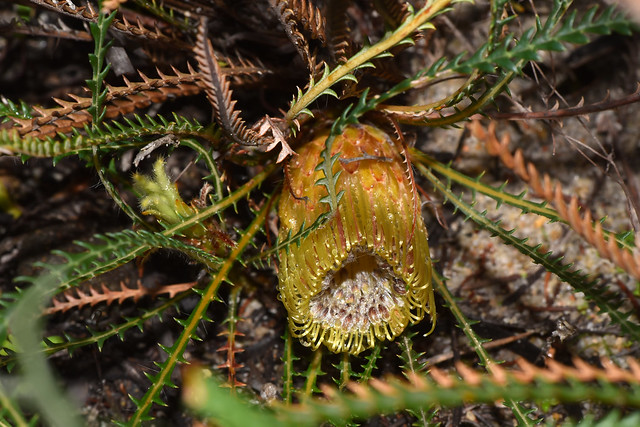 Photo:Banksia stenoprion By jeans_Photos