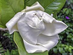Brilliant White Magnolia Ready To Unfurl Against Vivid Green Foliage - IMRAN™