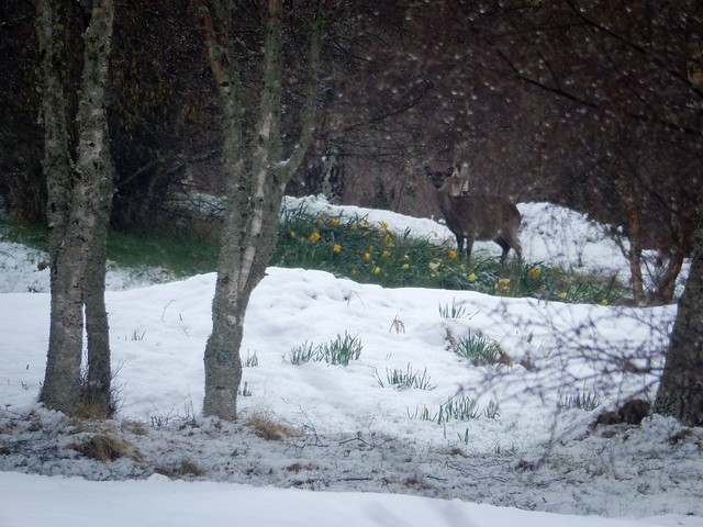 Photo:Deer and daffodils in a blizzard, 2021 May 06 By Dunnock_D