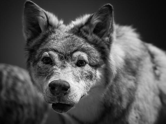 Photo:Glaswegian Howler … By marc.barrot