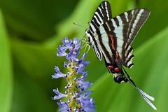 Zebra Swallowtail on Pickerelweed