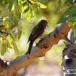 Aves en las lagunas de La Guardia (Toledo) 8-8-2021
