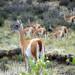 Guanacos en la estepa patagónica (FB)