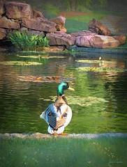 Mallard by the pond