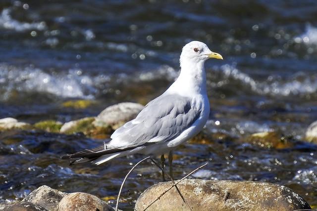 Photo:Mew Gull By Dan Arndt