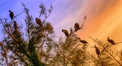 St. Petersburg Cormorants