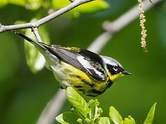 Magnolia Warbler - Forest Park, New York, USA