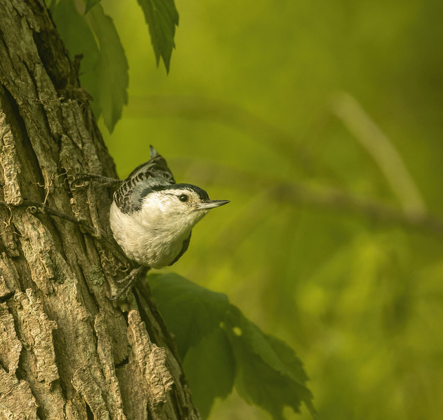 White Breasted Nuthatch.....