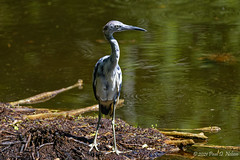 _PDN2826_Little Blue Heron; Florida Botanical Gardens Largo Florida