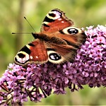 Peacock Butterfly On My Buddleia by Sue Ould