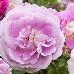 Regent's Park Rose by John Fogarty