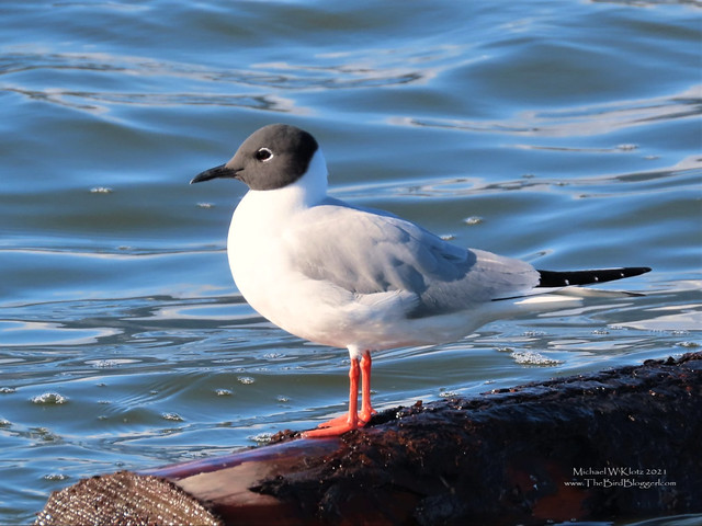 Photo:Bonaparte's Gull - English Bay, BC By Michael W Klotz - The Bird Blogger.com