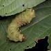 Giant Moth Caterpillar