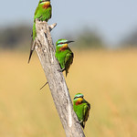 Blue-cheeked Bee-eaters by June Sparham