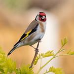 Goldfinch on Gleditsia Tree by Richard John White