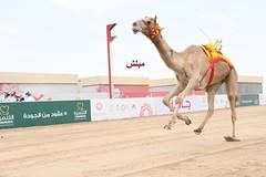 أشواط الحيل والزمول (المفتوحة والعامة) مهرجان ولي العهد بالمملكة العربية السعودية مساء 11-9-2021