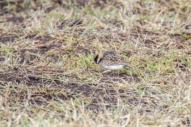 Photo:Fischer's Sparrow-Lark (Eremopterix leucopareia) - male By Allan Hopkins