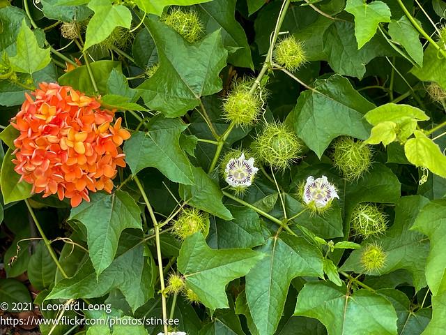Flowers along Upper Thomson Road