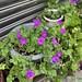 紫紅色的舞春花