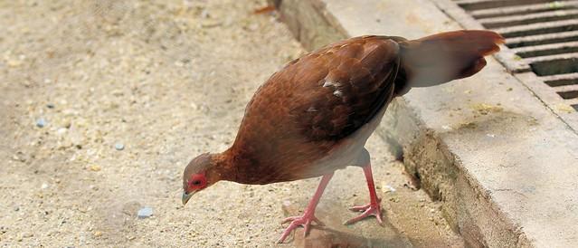 Edwards's pheasant (femal)